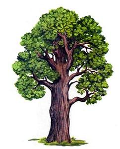Картинка к синквейн дуб