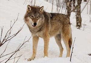 Картинка к слову волк